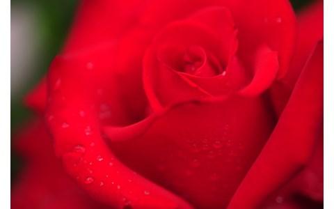 バラを食べると美容や健康に効果アリ?