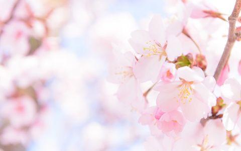 好きな「桜ソング」、1位はアノ曲
