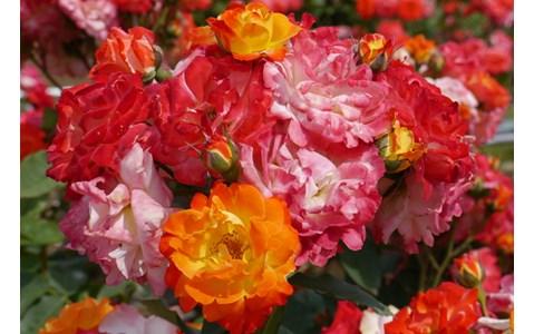 殿堂入りしたバラが見られる「春のバラフェスタ」