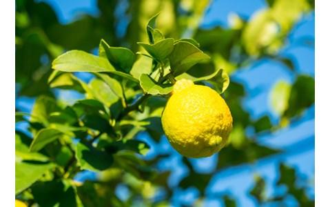 レモンは皮まで! 栄養価を逃さない切り方は?