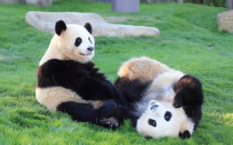 ジャイアントパンダの「美形の条件」って?