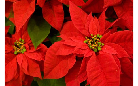 クリスマスに人気のポインセチア、なぜ赤い?