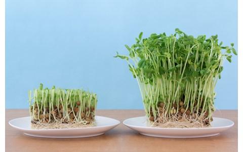もやし、豆苗… 「発芽野菜」が長持ちする保存方法
