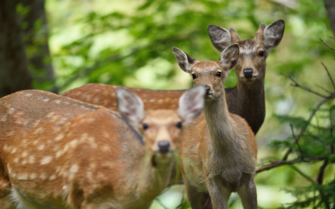 知られざる「鹿」の強さ…自然の生態系を壊すほどの影響力が!?