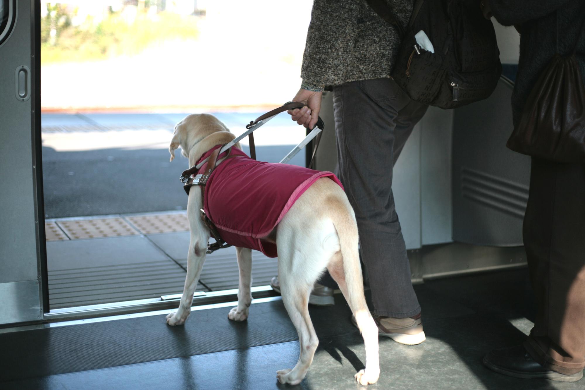 盲導犬が9年連続で減少…彼らの役割とは?