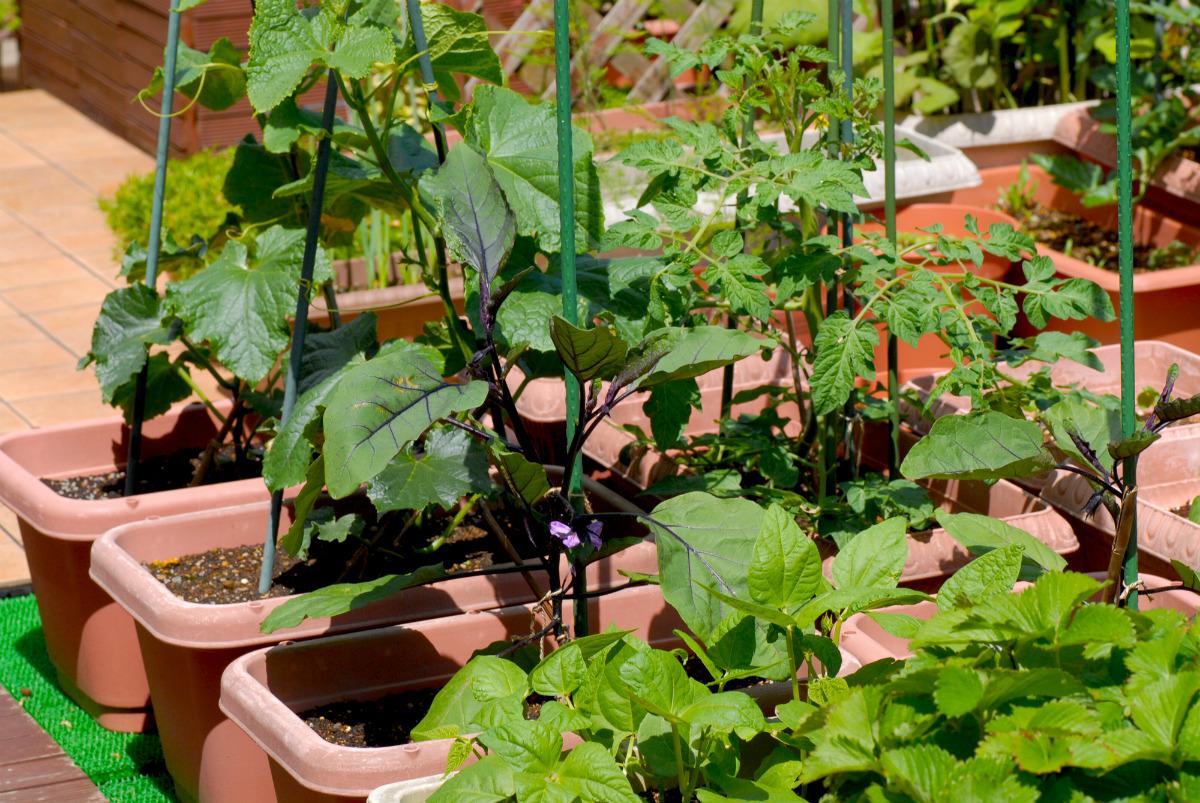 7月からでも間に合う家庭菜園。プロのおすすめは、空心菜とキュウリ