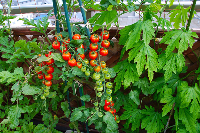 家庭菜園、ベランダでも育てやすいのは? 野菜がグングン育つ土の選び方も