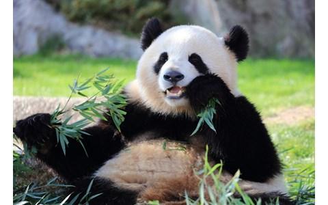 パンダの画像 p1_39